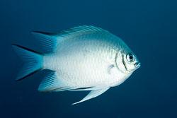 BD-150224-Ras-Mohammed-6694-Amblyglyphidodon-indicus.-Allen---Randall.-2002-[Maldives-damselfish].jpg